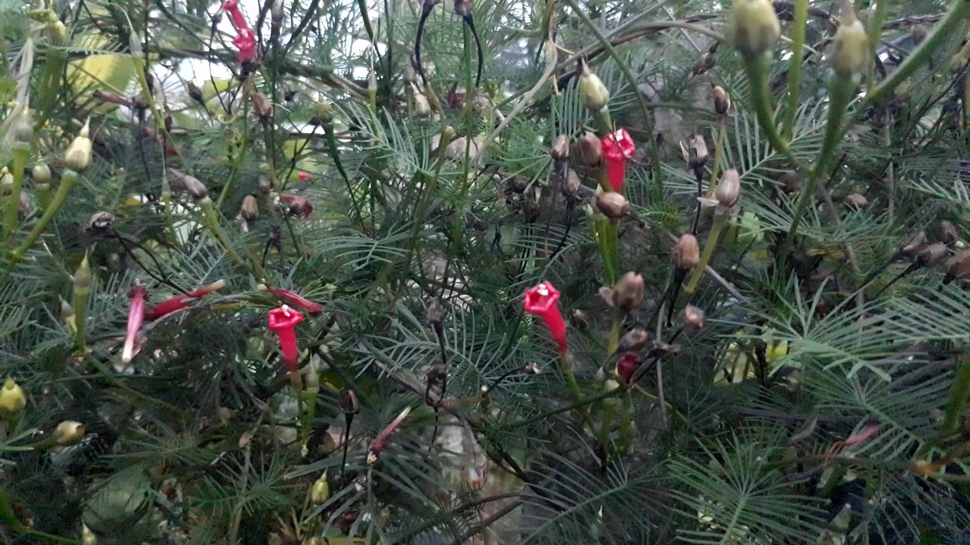 cách-trồng-và-chăm-sóc-cây-tóc-tiên-hoa-cảnh-đà-lạt-5