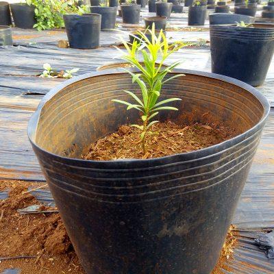 cây-giống-tùng-la-hán-đức-trọng-lâm-đồng-2